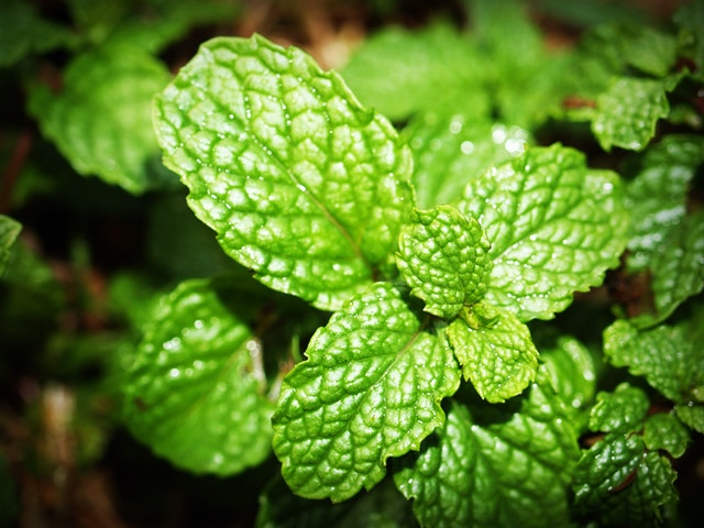 Peppermint Leaves for Cough